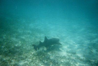 Snorkeling - Nurse Shark