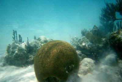 Snorkeling - Coral Reef - Coral Brain