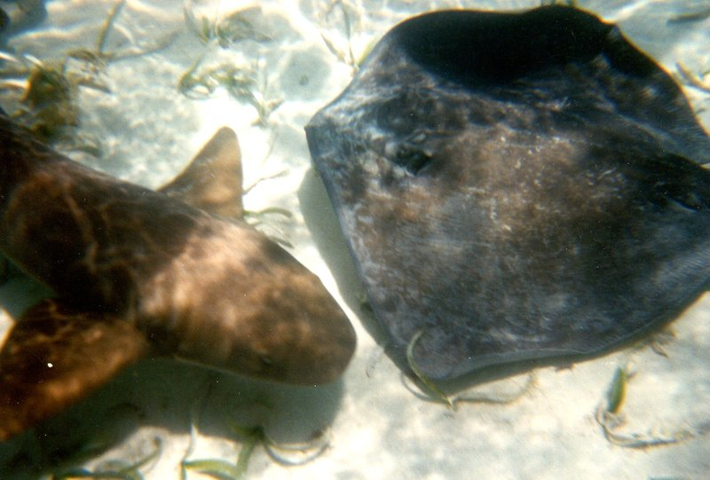 Snorkeling - Stingray & Nurse Shark