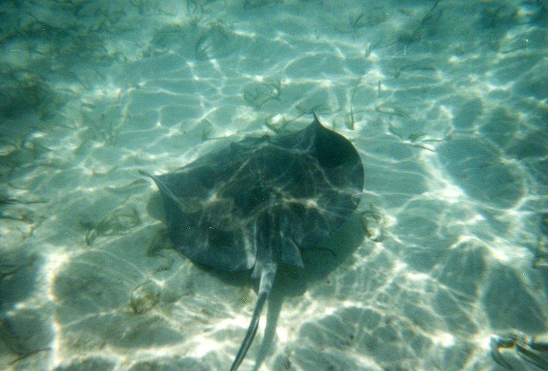 Snorkeling - Stingray