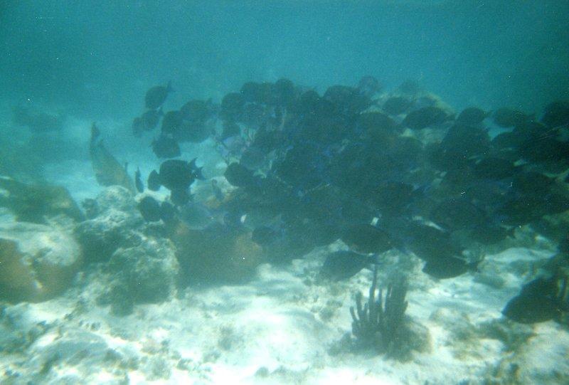 Snorkeling - School of Black Fish