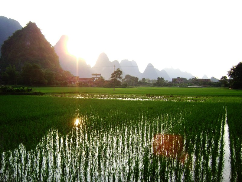 Rice paddies at sunset near Yangshou