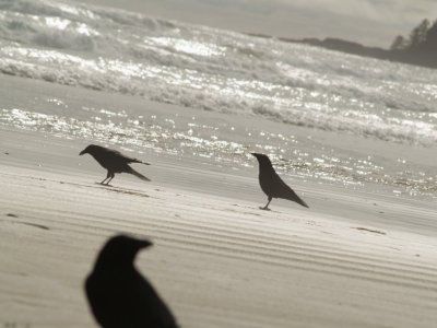 Crows on the Beach 2