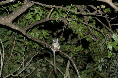 bush baby in tree