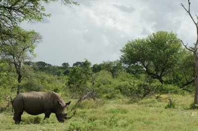rhino with bush