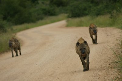 hyena coming to us