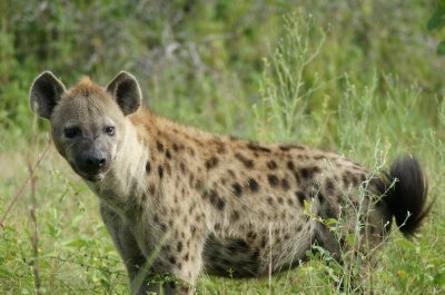 hyena watchingus