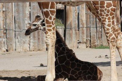 baby and mommy giraffe
