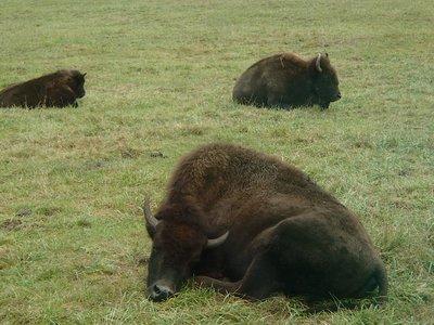 bison naps