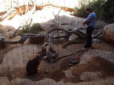 bobcat feeding time
