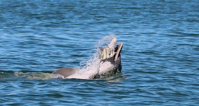 dolphin throwing the fish
