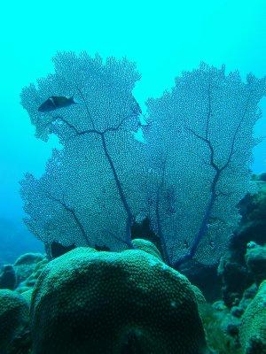 fan coral