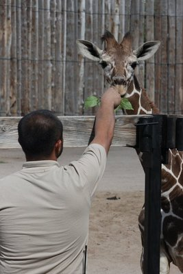 feeding baby giraffe