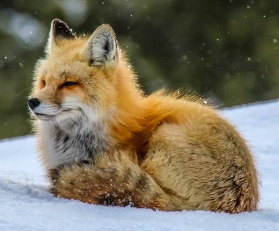 fox looking away