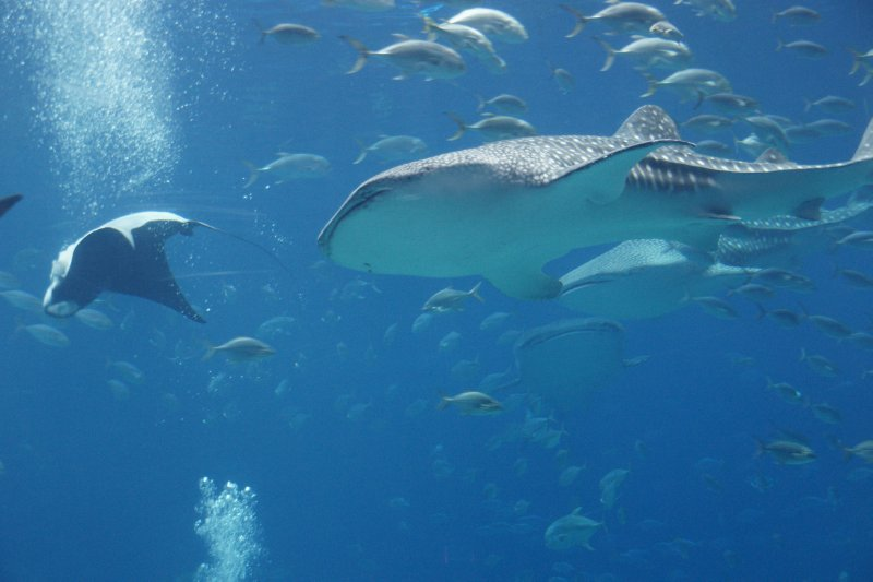 ray and whale shark