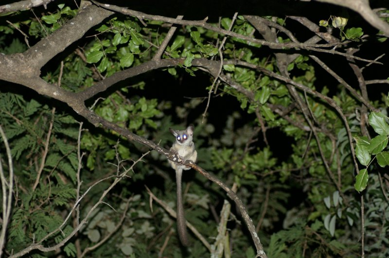 bush baby in tree