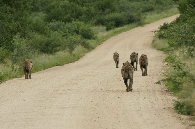 hyena on road