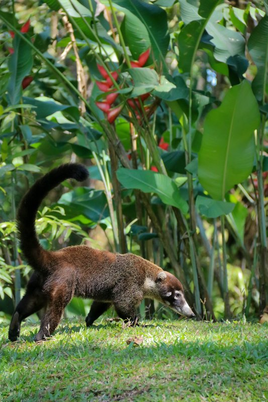 large_another_coati.jpg