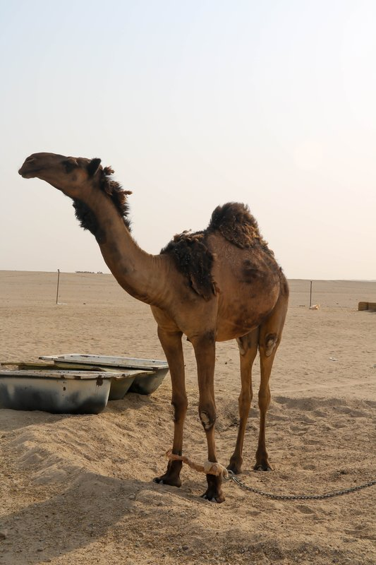 large_camel.jpg