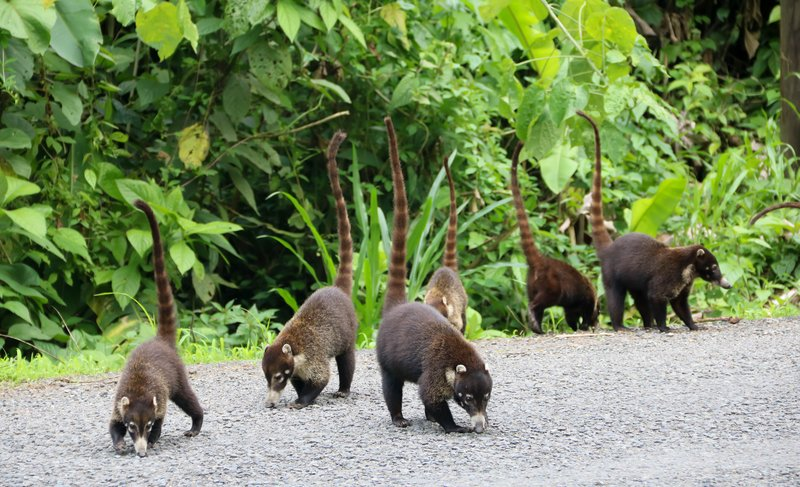 large_coatis.jpg