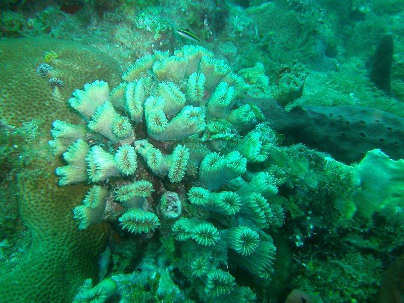 coral brain