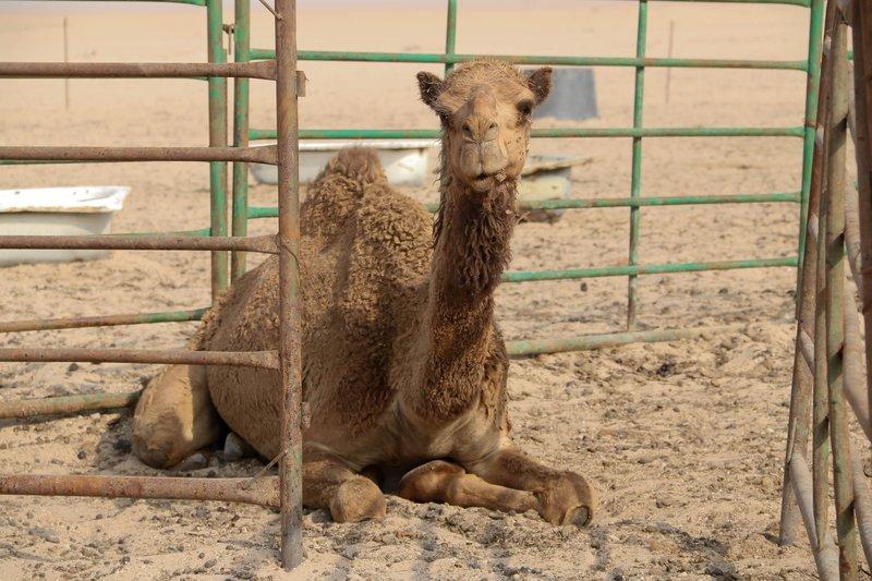 large_crazy_camel.jpg