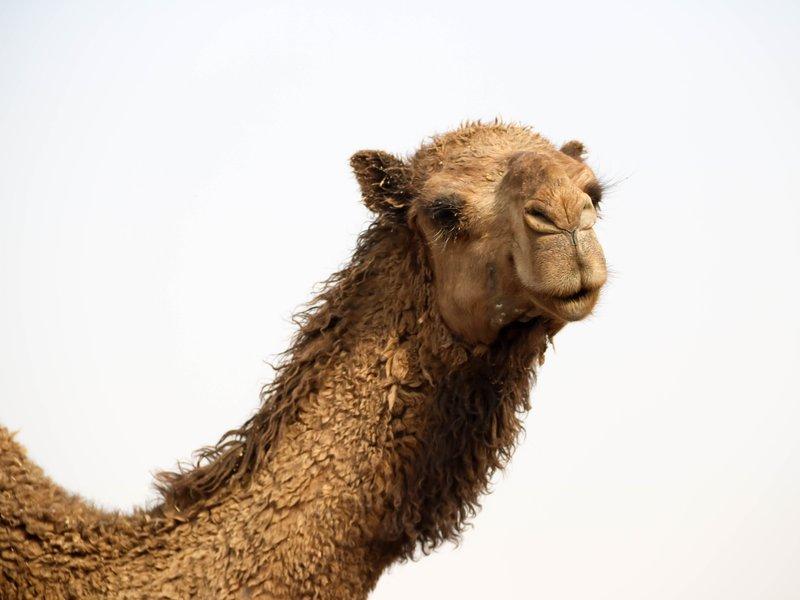 large_fuzzy_camel.jpg
