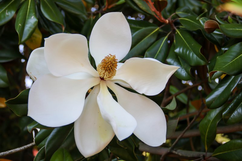 large_magnolia__1_of_1_.jpg