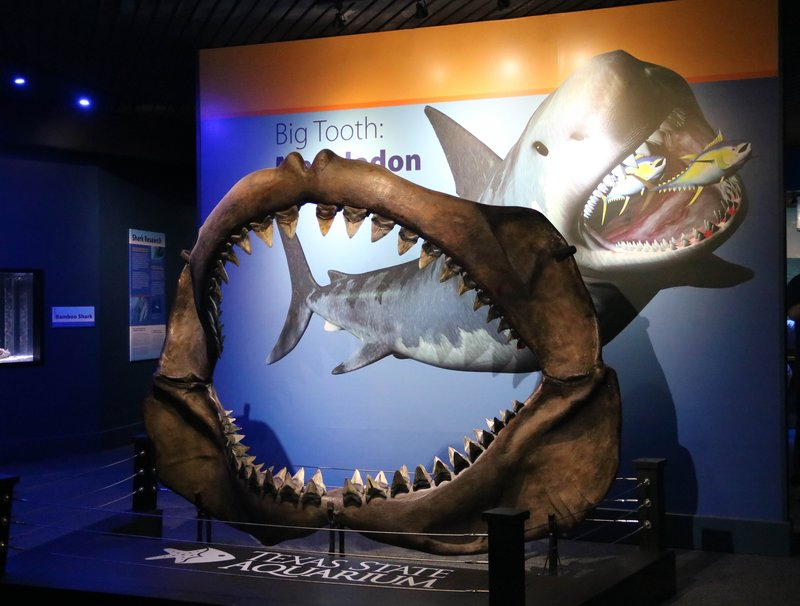 large_megaladon_jaw__1_of_1_.jpg