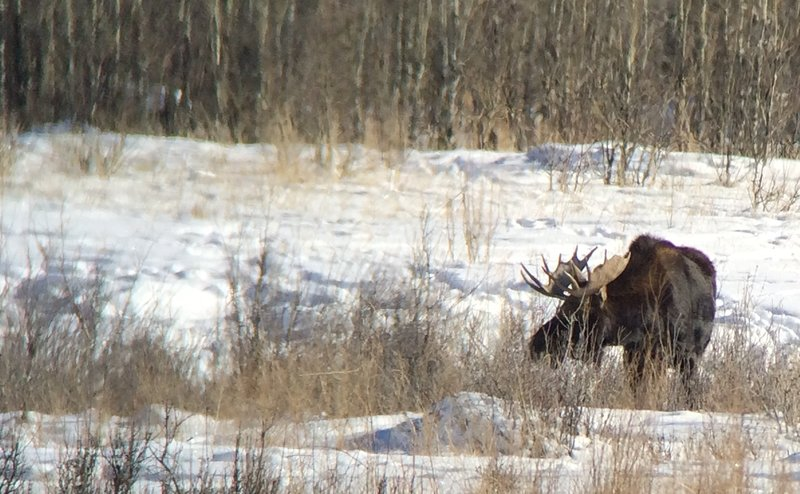 large_moose_with_horns.jpg
