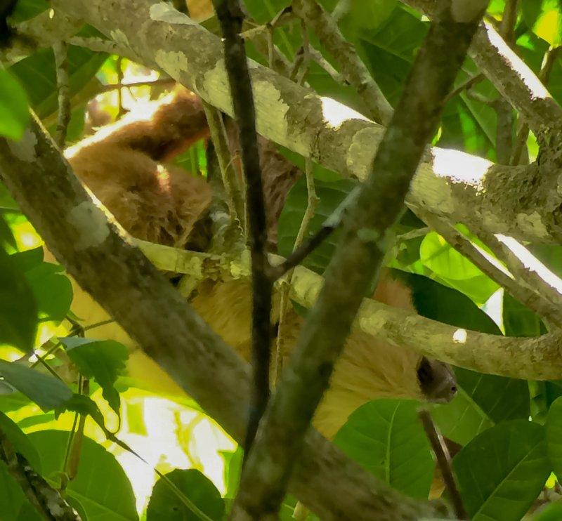 large_sloth_hanging_upside_down.jpg