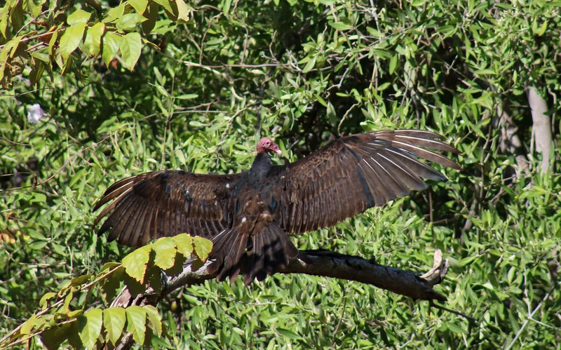 large_turkey_vulture.jpg