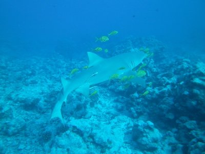 lemon shark 2