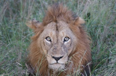 male lion before walk