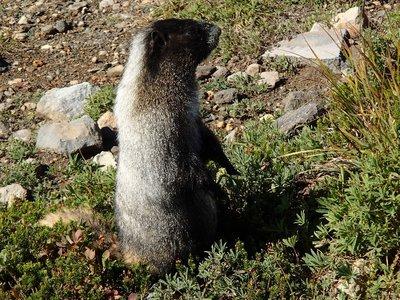 marmot on high alert