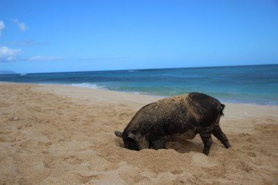 pig digging on the beach
