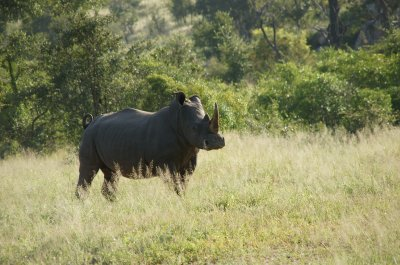 rhino on walk