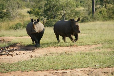rhino together on walk