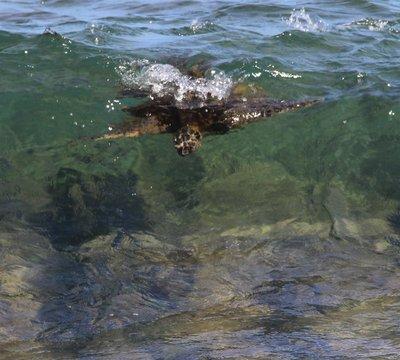 surfer turtle
