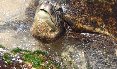 turtle snack