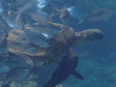 turtles harem