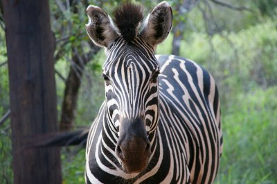 zebra at Croc Bridge house