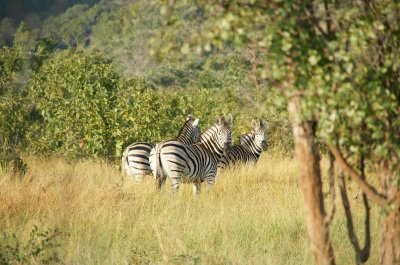 zebra on bush walk