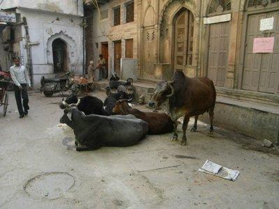 delhi-cows.jpg