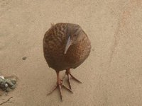 A very inquisitive Stewart Island Weka.