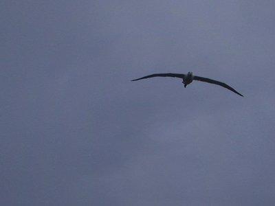 albatross_wing_span.jpg