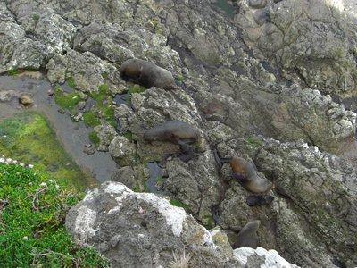 fur_seals_..y_seals.jpg