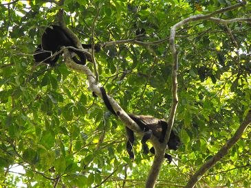 CABO BLANCO sleeping capuchin monkeys