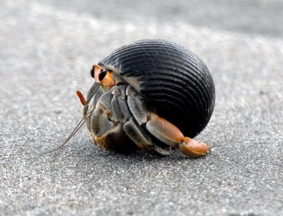 CURU HERMIT CRAB inside shell