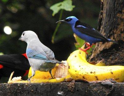 BIRDhoneycreeper.jpg